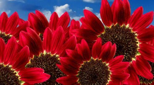 """4/"""" etiqueta Planta Grátis Compre 2 Ganhe 1 Grátis 50 Sementes De Girassol Gigante Vermelho Vermelho Sol"""