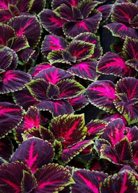 15 Pelleted Seeds Coleus Kong Red Giant Coleus Seeds