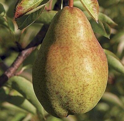 Bartlett pear tree starter plant