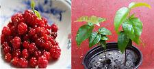 Two (2) Surinam Cherry (a.k.a. Brazilian Cherry, Pitanga, Cayenne Cherry) Trees