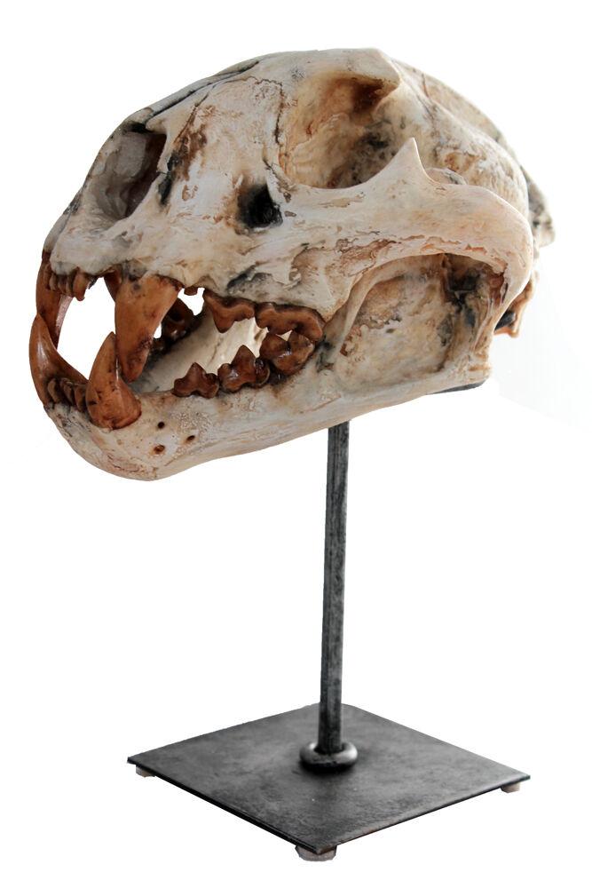 MACABRE Grand Cougar Cougar Cougar Chat Crocs Sculpture Animal Tête Crâne Avec Acier Support f83b87