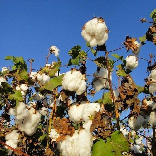 Free US Shipping Wild Cotton   Upland Cotton   Gossypium hirsutum   10 Seeds