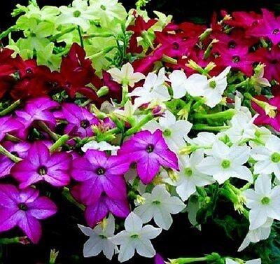 FRAGRANT 50 WHITE NICOTIANA SYLVESTEIS FLOWER SEEDS RESEEDING ANNUAL