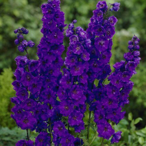 25 DELPHINIUM GIANT PACIFIC BLACK KNIGHT 5-6 FT PERENNIAL Larkspur FLOWER SEEDS