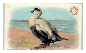 American Eider Duck, Arm & Hammer Game Birds Victorian Trade Card *VT30B