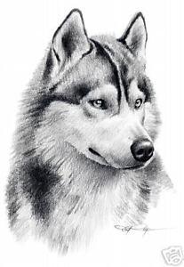 siberian husky dog drawing art 11 x 14 print signed djr ebay