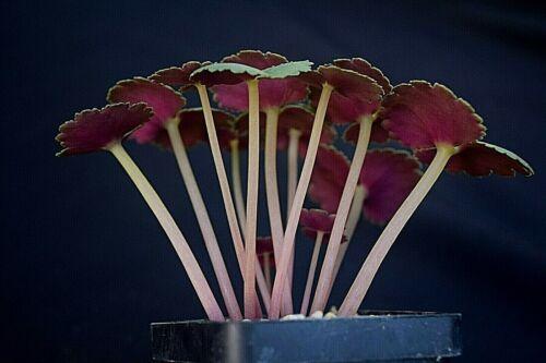 Crassula umbella Pakhuis pass 20 SEEDS 2020 extreme rare SA caudex succulent