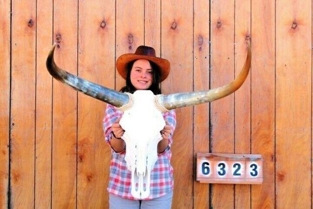 STEER SKULL LONG HORNS MOUNTED 2' 8