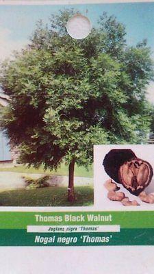 7 Gal. Thomas Black Walnut Tree Live Home Landscape Plants Nut Wood Shade Trees