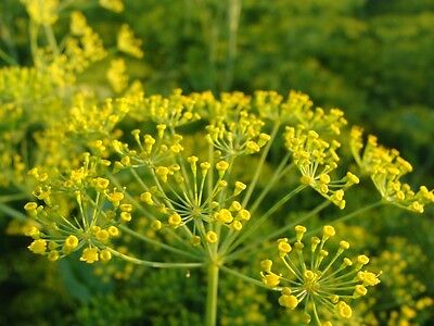 Herb - Dill - Mammoth - 1200 Seeds - Economy