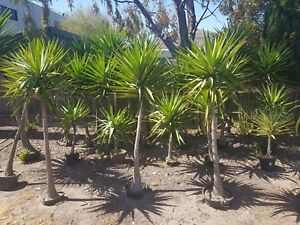 MEGA-YUCCA-PLANT-SALE-1m-1-5m-green-modern-and-mature-Yucca-plants