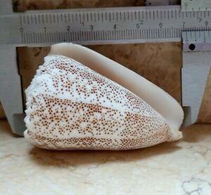 Conus-Arenatus-69-5-beautiful-wow-specimen-Pattern-seashell-Coloration