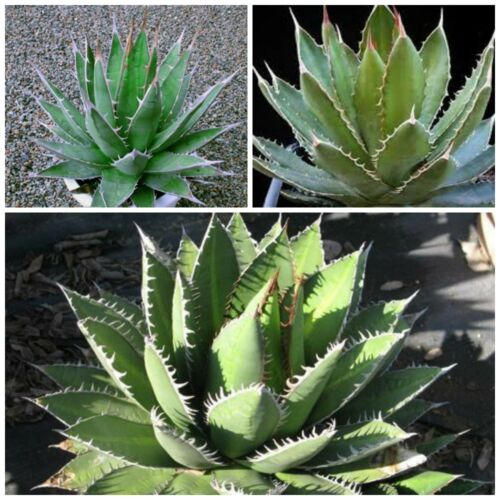 10 Samen der Agave ghiesbreghtii /'Purpusorum/' seeds succulents G