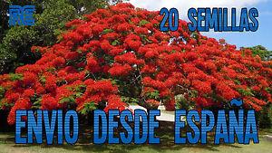 FLAMBOYANT-Flamboyan-Arbol-llama-Delonix-regia-bonsai-20-Semillas-seeds-A03