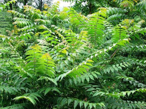 Arbre du ciel-une belle rapide Planteur! 50 graines