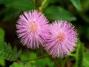 Wie-eine-Mimose-verhaelt-sich-auch-die-echte-Mimose-Blumen-Samen-Saatgut