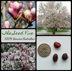 5 saucer magnolia seeds magnolia x soulangeana pinkpurple white image is loading 5 saucer magnolia seeds magnolia x soulangeana pink mightylinksfo