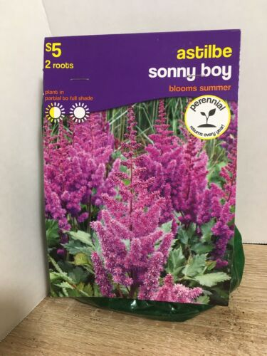 A Package Of 2 Astilbe Sonny Boy Plant Roots Perennials