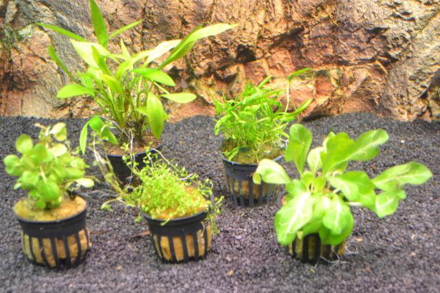 5 Töpfe Wasserpflanzen für den Vordergrund  Vordergrundpflanzen