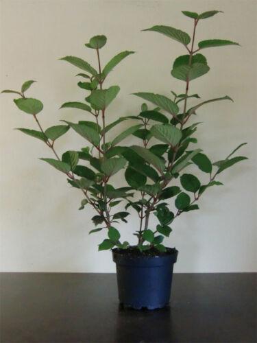 """Viburnum plicatum /""""Rotundifolium/"""" 60 cm"""