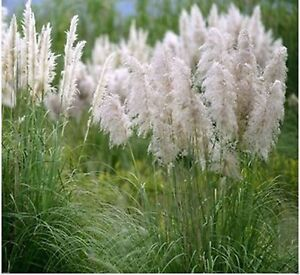 Ornamental-Grass-White-Seeds-Feather-Pampas-Fast-Growing-Perennial-100-Seeds