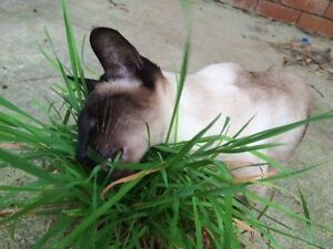 CATGRASS-500-SEEDS-easy-to-grow-cat-grass-CATS-LOVE-IT-nutritious-quick-growing