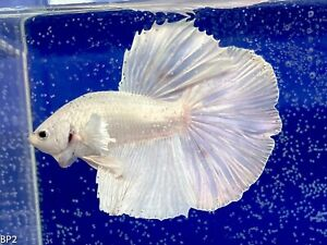 Betta Fish Live - BREEDING PAIR (Dumbo White Halfmoon )1Male/1Female Random Pick