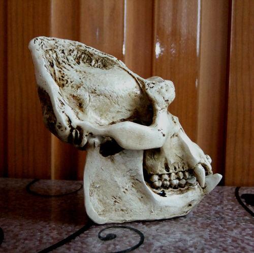 Artificial bone Africa Silverback gorilla Skull Museum Taxidermy Replica #2481