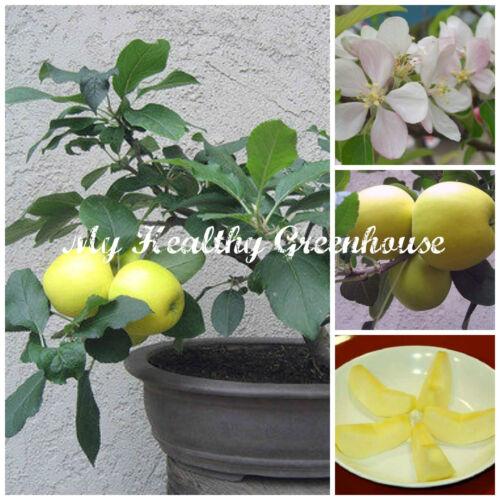 "VERY RARE Yellow Flesh Japanese Dwarf Apple ""Shinano Gold"" Self-fertile! SEEDS"