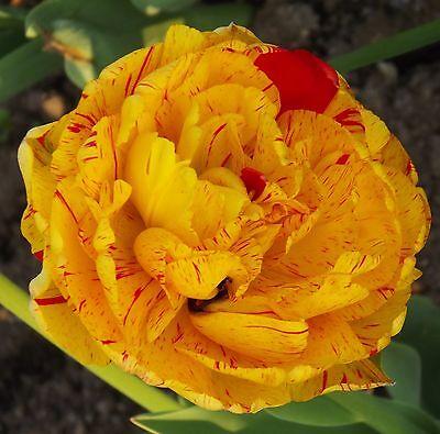 "Gefüllte Tulpe "" Monsella "" (5)  (Bitte Beschreibung lesen.)"
