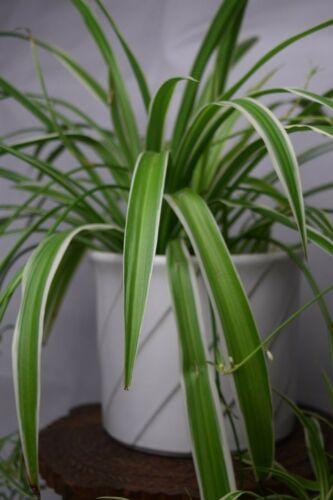 x 1 Beautiful Houseplant-Baby Spider Plant Chlorophytum Comosum Variegatum