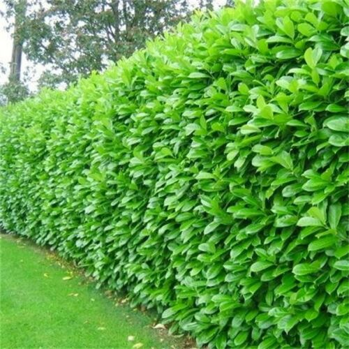 12 Cherry Laurel Evergreen Hedging Plants 40-60cm potted not bare root shrubs