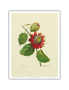 Details about Passion Flower Lilikoi Vintage Botanical Illustration Art  Poster Print