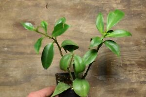 AESCHYNANTHUS-SPECIOSUS-LARGE-HANGING-GESNERIAD-PLANT