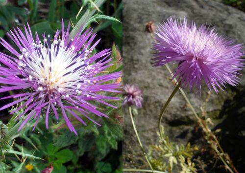 Moschusflockenblume Samen Amberboa moschata  Mix 100 Duftende Bisamblume