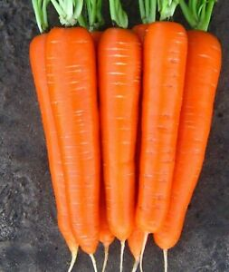 Vegetable-Seeds-Carrot-Laguna-F1-Ukrainian-Hybrid-NON-GMO