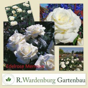 Edelrose Memoire® reinweiß mit cremefarbenen Schattie - 5L Topf