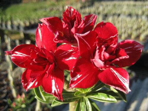 """Adenium Obesum//DESERT ROSE /""""kennaree/"""" une Greffe-Bouture"""