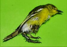 "Common iora Bird Aegithina tiphia Taxidermy Near 4"" FAST SHIP FROM USA"