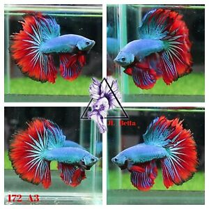 [172_A3]Live Betta Fish High Quality Male Fancy Over Halfmoon 📸Video Included📸