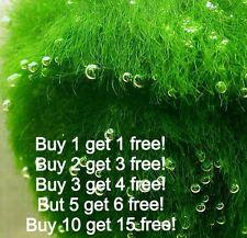Marimo Moss Balls 1.2 inch (3cm) (Cladophora) Live Plant Aquarium Tank In USA