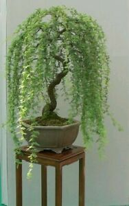 Green Weeping Willow Tree Cutting - Thick Trunk Start, A Must Have Dwarf Bonsai