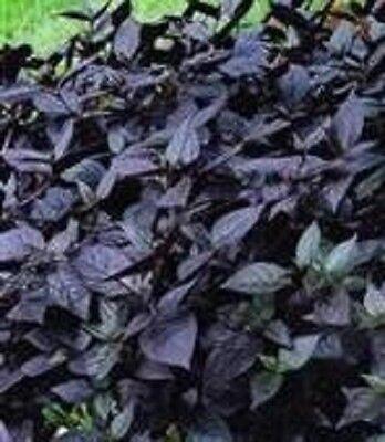 Alternanthera - Purple Knight - 5 Seeds