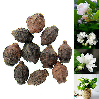10pcs Cape Jasmine Jasminiodes White Aromatic Flower Seeds Plant Seed
