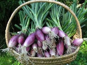 Onion-Red-Of-Florence-Delicious-Italian-Heirloom-Sweet-150-Seeds-COMBINED-SHIP