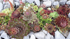 15 x sedum sempervivum steinrose steingarten staude winterhart sukkulenten bio ebay. Black Bedroom Furniture Sets. Home Design Ideas