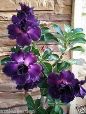 """Rare Adenium Obesum Desert Rose  """" DEEPPURPLE DOXZON """" 1 Live Plant"""