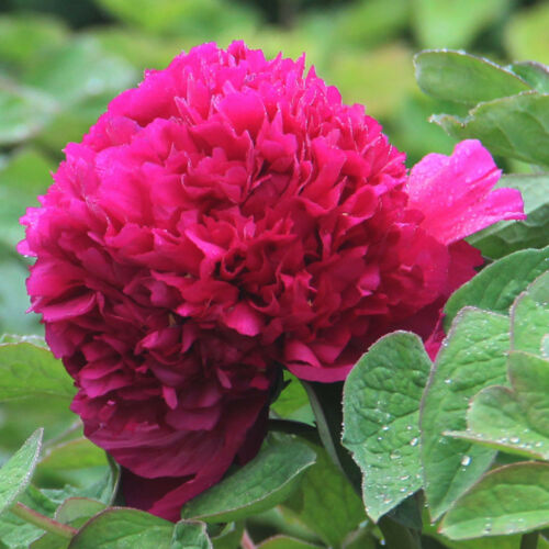10Pcs Chinese Herbaceous Peony Rare Flowers Seeds Home Garden Plant Seed Semen