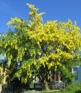 winterharte-frostharte-Garten-Rankpflanze-Zier-Strauch-Baum-i-GOLDREGEN-i