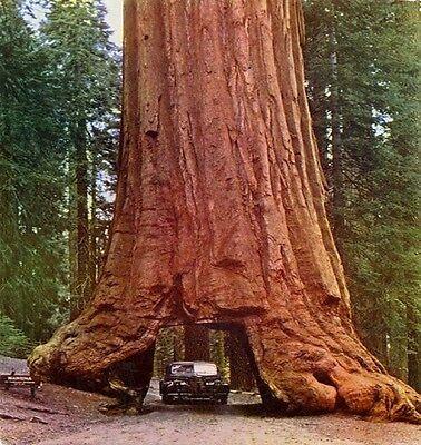Sequoia Sempervirens Coast Redwood 10 Seeds Giant Coastal Sequoia Bonsai Ebay